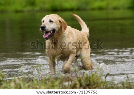 A Yellow Labrador Retriever walks out of the water after a swim. - stock photo