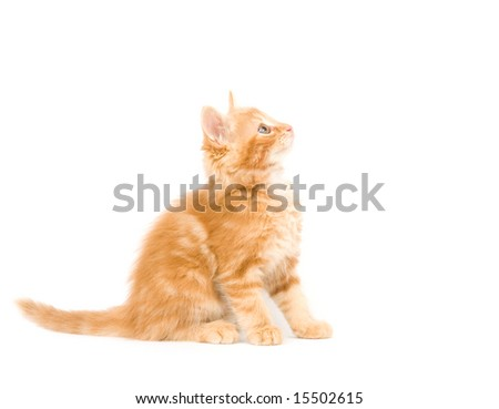 A yellow long-haired kitten sitting on a white background and looking up. One in a series.
