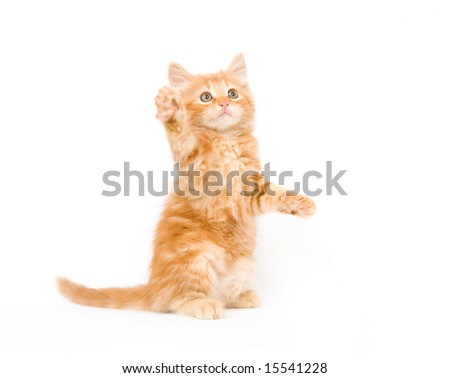 A yellow long-haired kitten swinging its paw while playing on a white background. One in a series. - stock photo