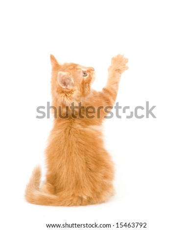 A yellow long-haired kitten with its back to the camera while lifting its right paw on white background. One in a series. - stock photo