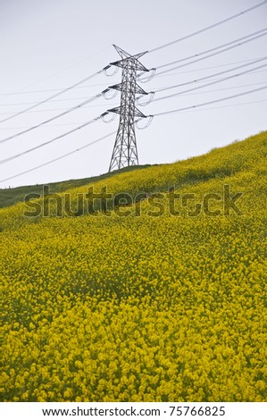 A yellow mustard field under an electrical power transmission tower. - stock photo