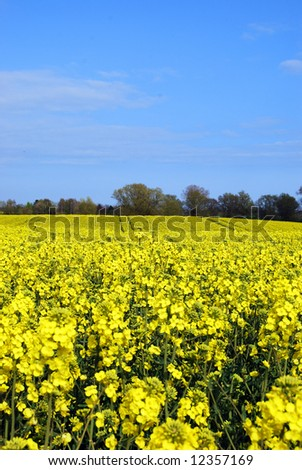 A yellow rapeseed field with blue sky and white clouds.