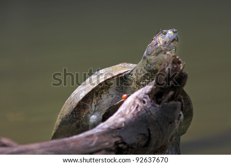 A Yellow-spotted Amazon River Turtle (Podocnemis unifilis) basking on a log in the Peruvian Amazon - stock photo