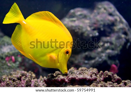 A Yellow Tang (Zebrasoma flavescens) is searching for food between rocks. - stock photo