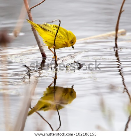 A Yellow Warbler feeding on insects in a marshy area. - stock photo