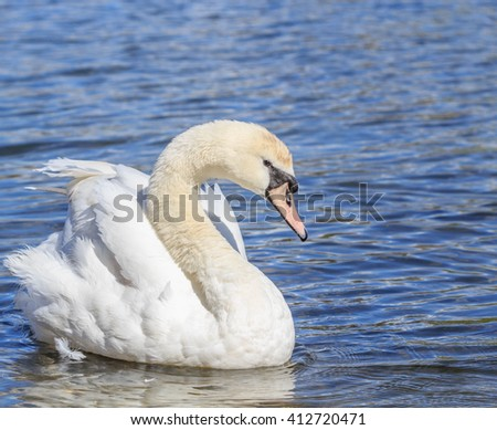 A yong Swan cleaning it self in Hyde park