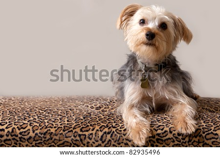 A Yorkshire Terrier against a Neutral Background Laying On A Leopard Print Chair - stock photo