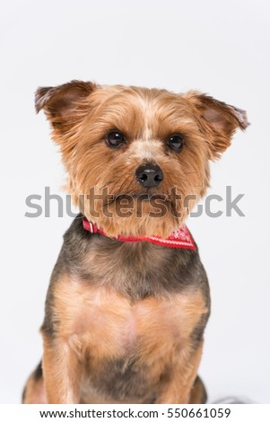 A yorkshire terrier dog,  isolated on a white seamless wall in a photo studio.