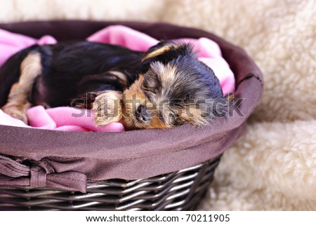 A Yorkshire Terrier puppy sleeping in a basket, selective focus on puppy's face