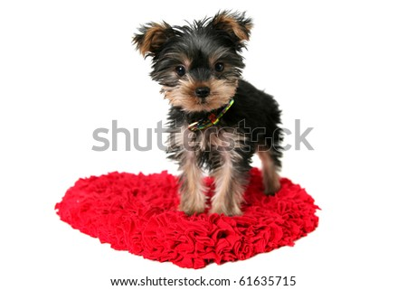 a yorkshire terrier puppy standing on a love heart shaped rug or mat,isolated on white,valentines day theme. - stock photo
