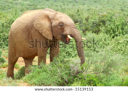 A young African elephant with big ears, trunk and tusks feeding a game park in South Africa