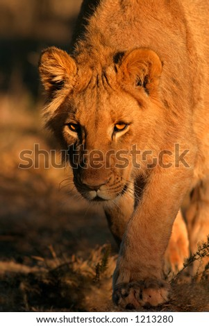 A young African lion (Panthera leo) stalking in natural environment, South Africa