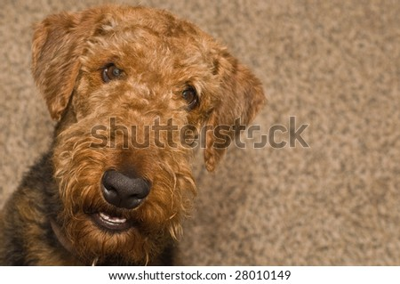 A young airedale terrier dog smiling for the camera indoors - stock photo
