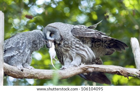A young and a adult great grey owl - stock photo