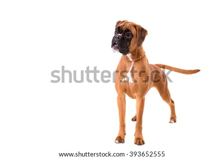 A young and beautiful boxer puppy, isolated over white background - stock photo