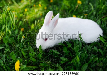 A young and incredibly beautiful white rabbit sits on a grass