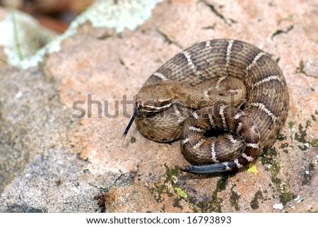 A young Arizona ridgenose rattlesnake from the Canelo hills of southeastern Arizona. - stock photo