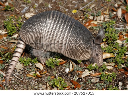 A Young Armadillo Digging in the Earth Looking for Insects - stock photo