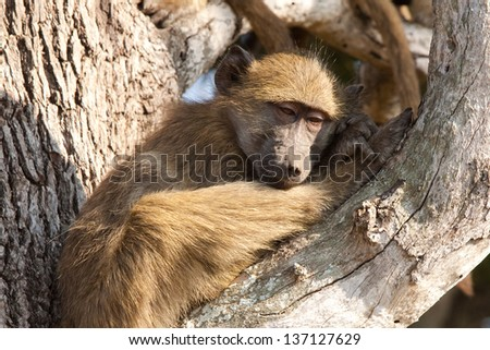 A young baboon feeling ill