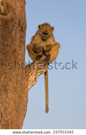A young baboon, Papio ursinus, perched on a broken branch in golden light, staring at his own cupped hands in his lap. Hwange National Park, Zimbabwe. - stock photo