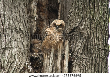 A young baby Great Horned Owl in a tree - stock photo