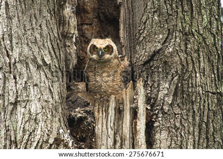 A young baby Great Horned Owl sitting in an old tree - stock photo