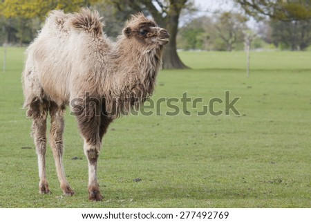 A young Bactrian Camel walking in a field