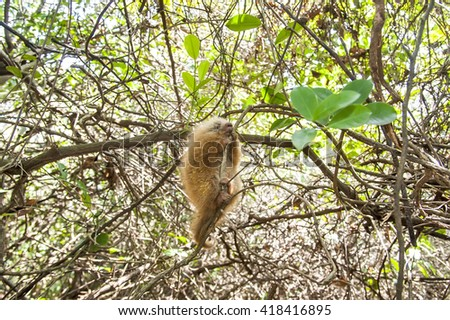 A young Bahia porcupine sits in a tree. - stock photo