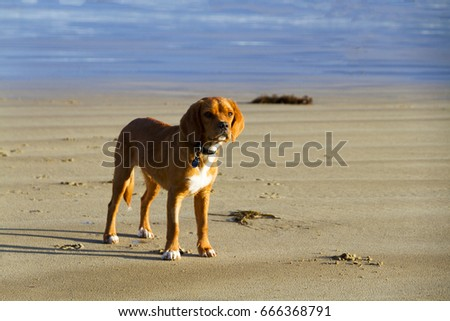 A young Beaglier on the beach
