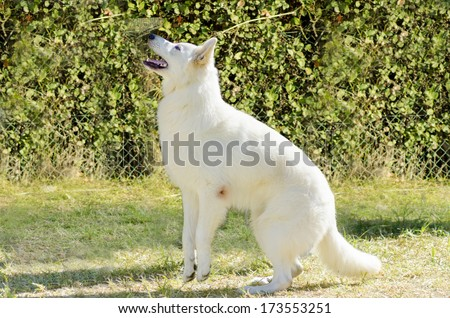 A young beautiful Berger Blanc Suisse dog standing on her two back legs ready to jump on the grass. The White Swiss Shepherd dog looks like a German Shepherd but distinctive for their long white coat. - stock photo