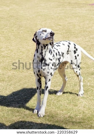 A young beautiful Dalmatian dog standing on the lawn distinctive for its white and black spots on its coat and for being alert, active and an intelligent breed. - stock photo
