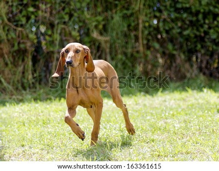 A young, beautiful, fawn red brown smooth coated Segugio Italiano dog running on the grass. The Italian Hound dog has a long head and ears and is used as a hunting dog. - stock photo