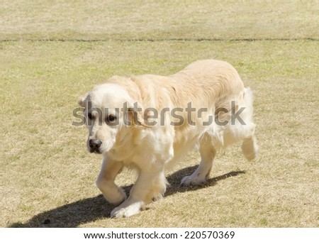 A young beautiful light golden retriever walking happily on the grass. Known for their intelligence, being very friendly and excellent guide dogs - stock photo