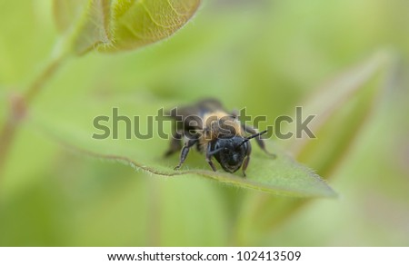 A young bee on a piece of bush