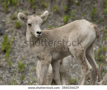 A young big horn sheep lamb strikes an adorable pose as it looks over its shoulder at family members in Banff National Park, Alberta, Canada. - stock photo
