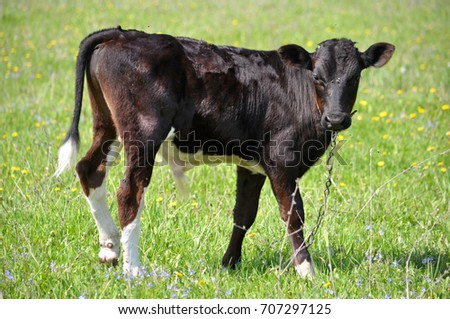 A young black-capped bull in a pasture among the green grass