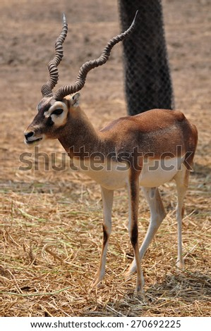 A Young Blackbuck in the park