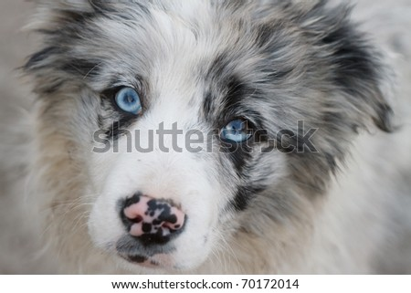A young Border Collie Grey - stock photo