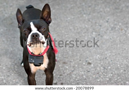 A young Boston Terrier dog looking intently out of curiosity. - stock photo
