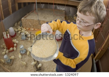 A young boy feeds baby chicks inside of a chicken house in Illinois (02) - stock photo