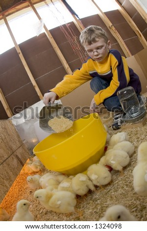 A young boy feeds baby chicks inside of a chicken house in Illinois (01) - stock photo