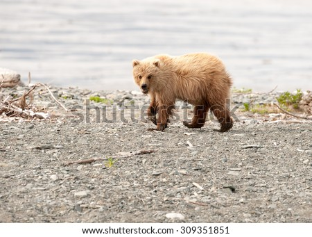 A young brown bear cub on a beach in Alaska stops to look at photographer - stock photo
