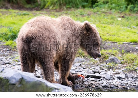 A young brown bear feeds on a fresh catch of salmon