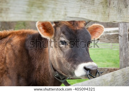 A young brown cow grazes in a farmyard pasture. It has a weaning ring in it's nose. - stock photo