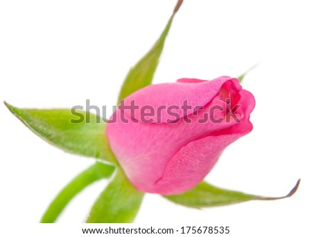 a young bud rose close up - stock photo