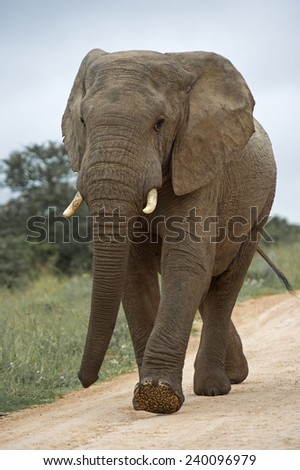 A young Bull Elephant passing the photographer - stock photo