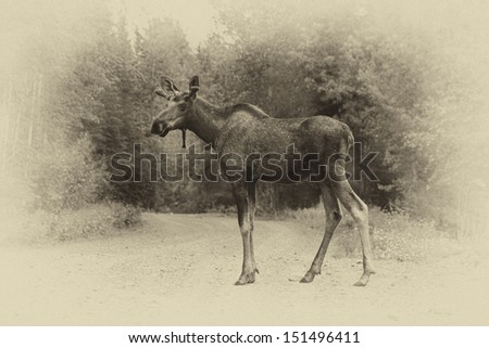 A young bull moose stops for his portrait while crossing an Alaskan dirt road (with a vintage effect) - stock photo