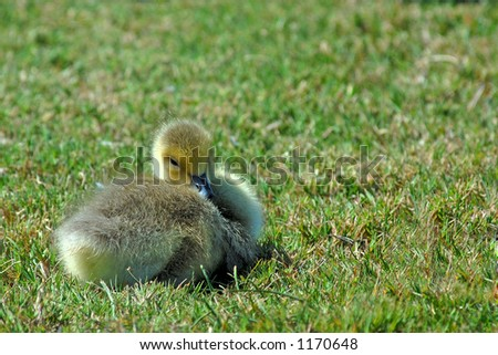 A young Canada Goose Chick rests on the grass. - stock photo