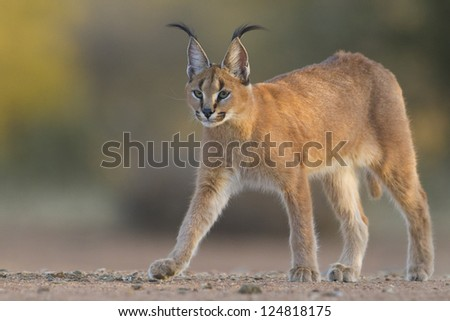 A young Caracal walking in South Africa, (Felis caracal) - stock photo