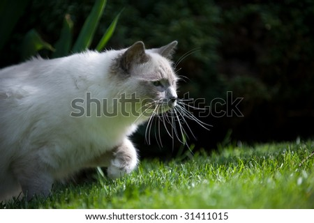 A young cat with long whiskers is tracking prey in green grass. - stock photo